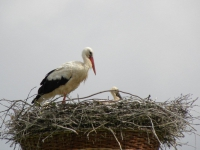 Nestbewachung